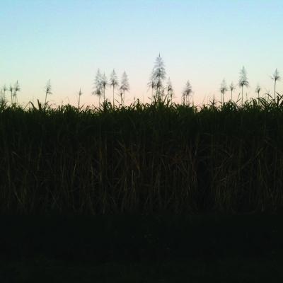 spl horiz new cane closeup soil JA copy