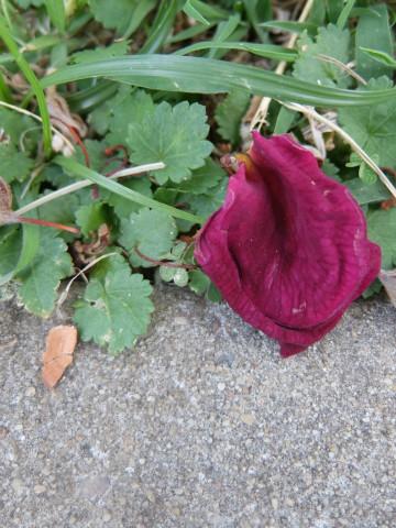hol-h2o-roses-dying